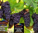 طرح توجیهی باغداری و پرورش میوه جات | فنی ، اقتصادی و مالی